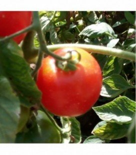 Tomate Madagascar