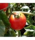 Tomate Madagascar - semillas no tratadas