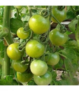 Tomate green doctors frosted