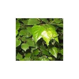 planta de haya en maceta de 5 l (fagus sylvatica)