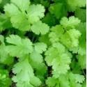 cilantro en maceta de 11 cm
