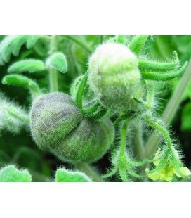 Tomate wooly green zebra - semillas sin tratamiento
