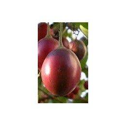 plantas de tamarillo - tomate de arbol