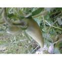 tomate cuerno de los Andes