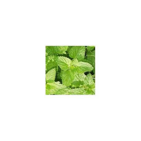 planta de melisa en maceta de 11 cm
