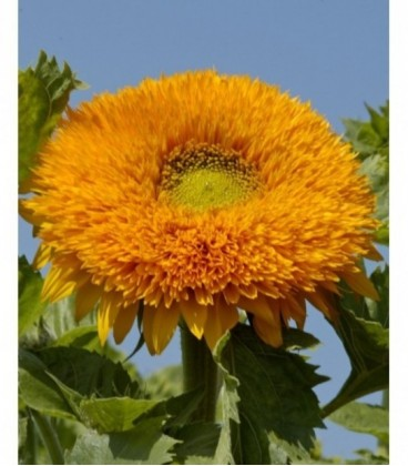 Girasol Orange Sun