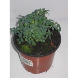 planta de ruda en maceta de 11 cm
