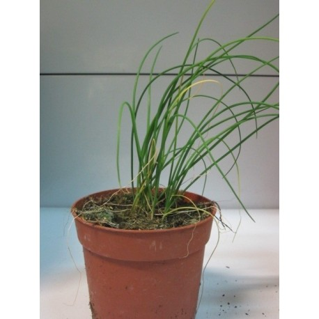 planta de cebollino en maceta de 11 cm - planeta semilla