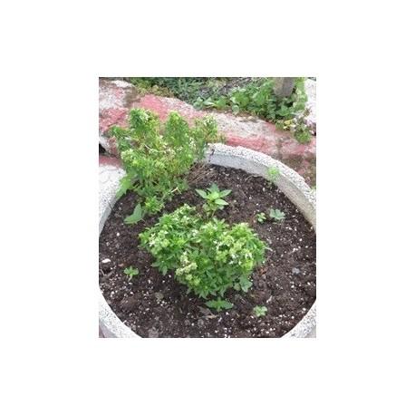planta de albahaca en maceta de 11 cm