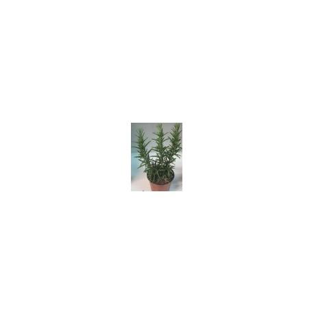 planta de romero en maceta de 11 cm