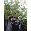 hplanta de hierba luisa (loysia citriodora)