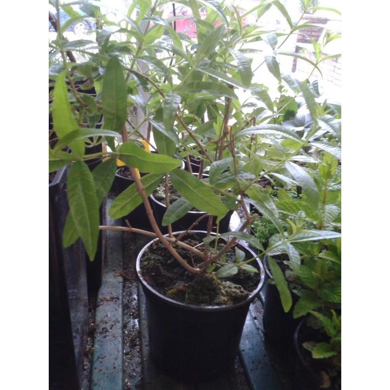 Planta de hierba luisa en maceta de 11 cm - Plantas aromaticas en maceta ...