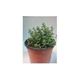 planta de tomillo en maceta de 11 cm