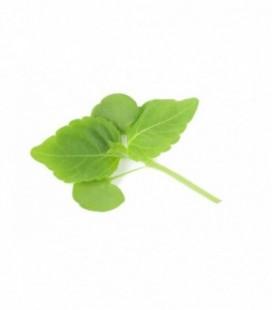 Shiso Verde Perilla Frutescens - semillas no tratadas