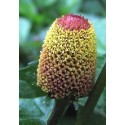 planta de flor eléctrica en maceta - boton de sechuan