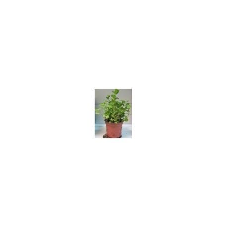 planta de menta piperita en maceta de 11 cm