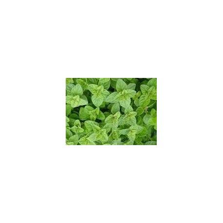 planta de oregano en maceta de 11 cm