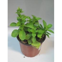 planta de stevia en maceta de 11 cm