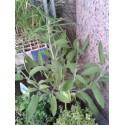 planta de salvia en maceta