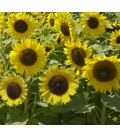 girasol enano spray mixed (semillas ecológicas)