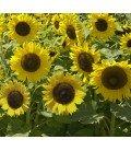 girasol enano sunspot (semillas no tratadas)