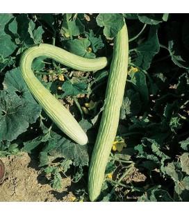 pepino tortarello de abruzzese - semillas no tratadas