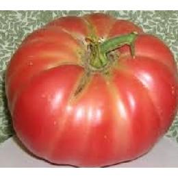 tomate oxheart Belmonte - plantel
