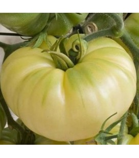 tomate belleza blanca - plantel