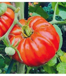 tomate pantano romanesco - plantel