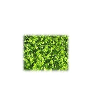 planta de perejil en maceta de 11 cm