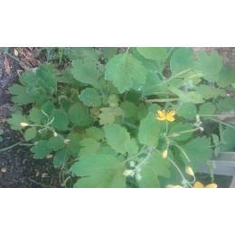 semillas de celidonia (Chelidonium majus)
