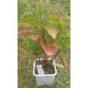 planta de menta grapefruit en maceta