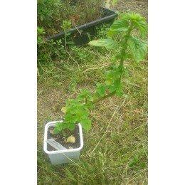 planta de menta citrata en maceta