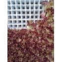 semillas de lechuga lollo rossa