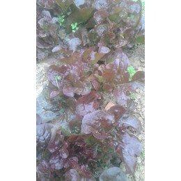 semillas de lechuga hoja de roble