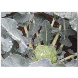 brocoli calabrese