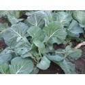 semillas de col forrajera - berza asa de cantaro