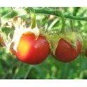 semillas de morella de balbis