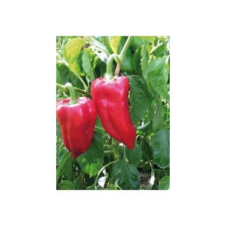 planta de pimiento najerano