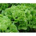 semillas de lechuga hoja de roble verde