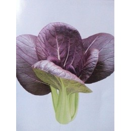 semillas de pak choi purpura F1 Red lady