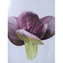 Plantel de pak choi purpura
