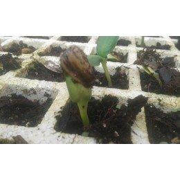 semillas de girasol para pipas