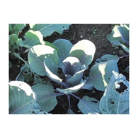 semillas de lombarda