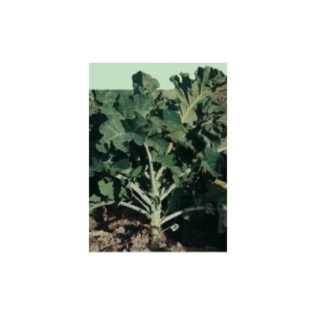 semillas de berza gigante caballar