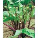 semillas de kale chino