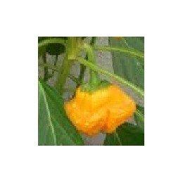 semillas de pimiento picante amarillo de Jamaica