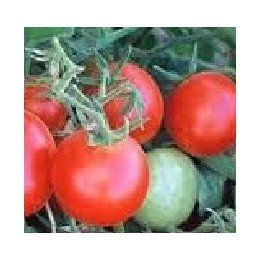 semillas de tomate Czech bush (Checo determinado)
