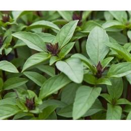 albahaca tailandesa - semillas ecológicas