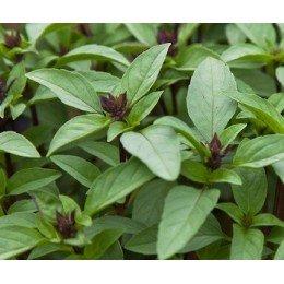 albahaca tailandesa - semillas sin tratamiento